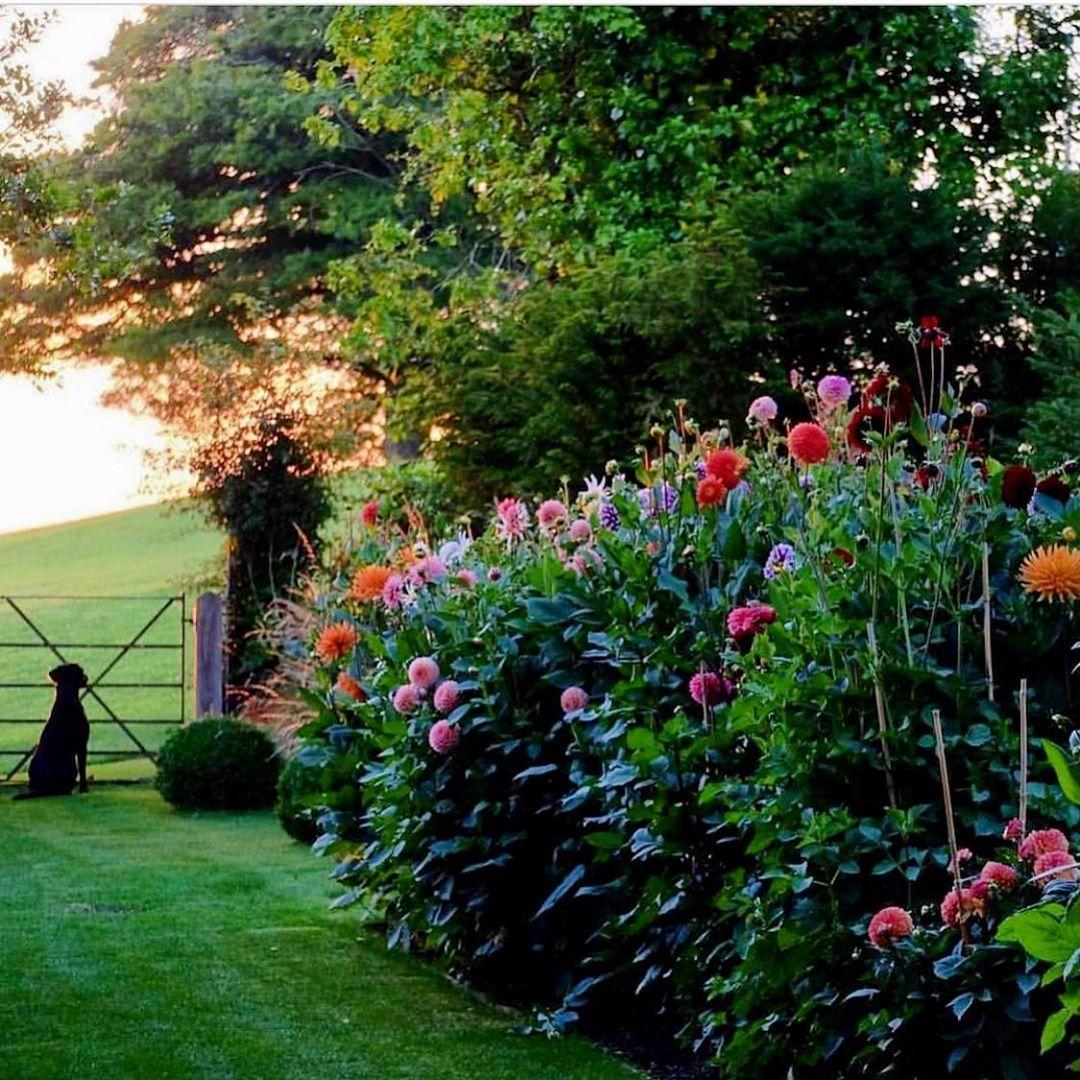 Golden Hour Via Mccormickcharlie Dahlia Dahlias Flowersoftheday Flowerlovers Flowergarden Garden Gard Garden Backdrops Unique Gardens Vertical Garden