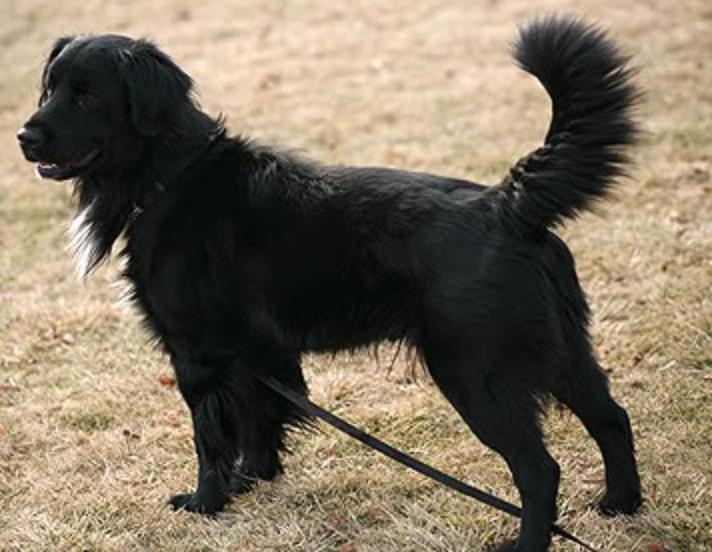 Golden Retriever Border Collie Mix Canis Lupus Hominis Golden