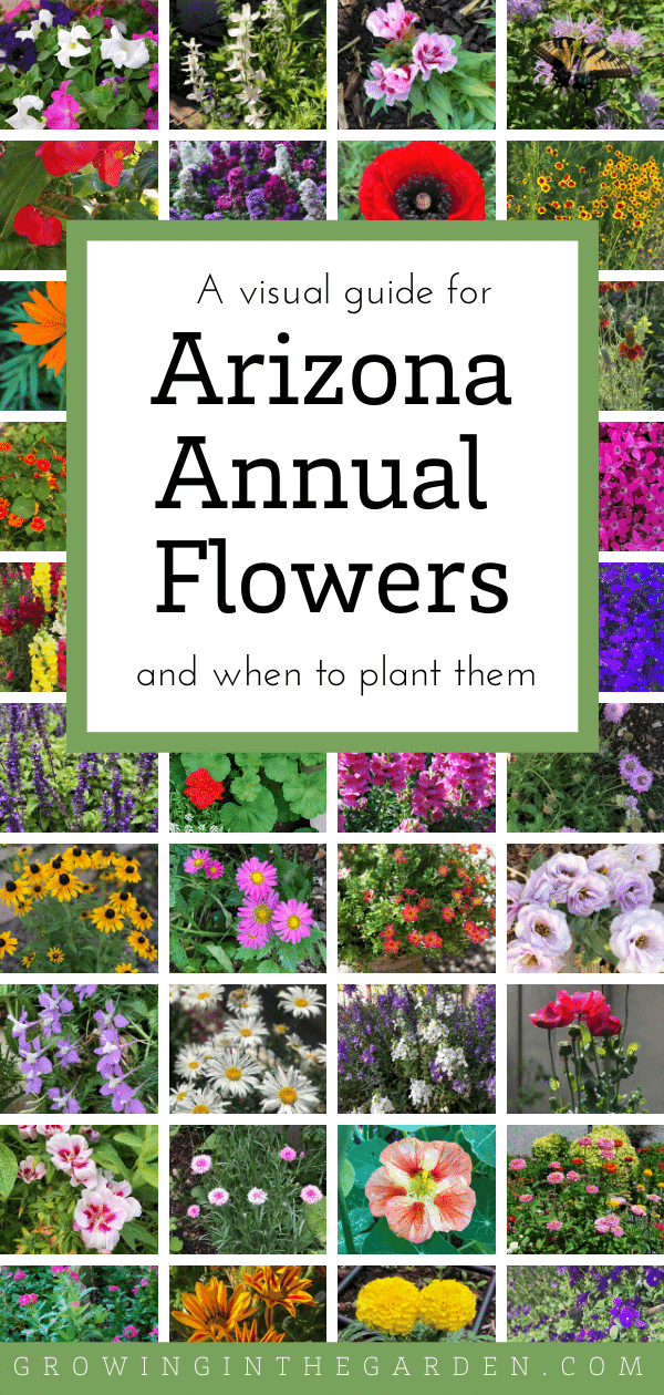 Photo of Arizona Annual Flowers: A Visual Guide for Low-Desert Flowers | Growing In The Garden