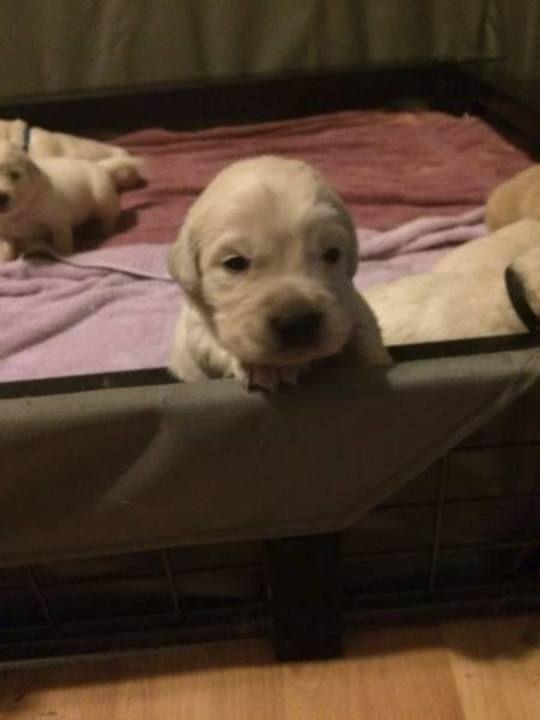 Kansas City Star Classifieds Dogs Akc Golden Retriever