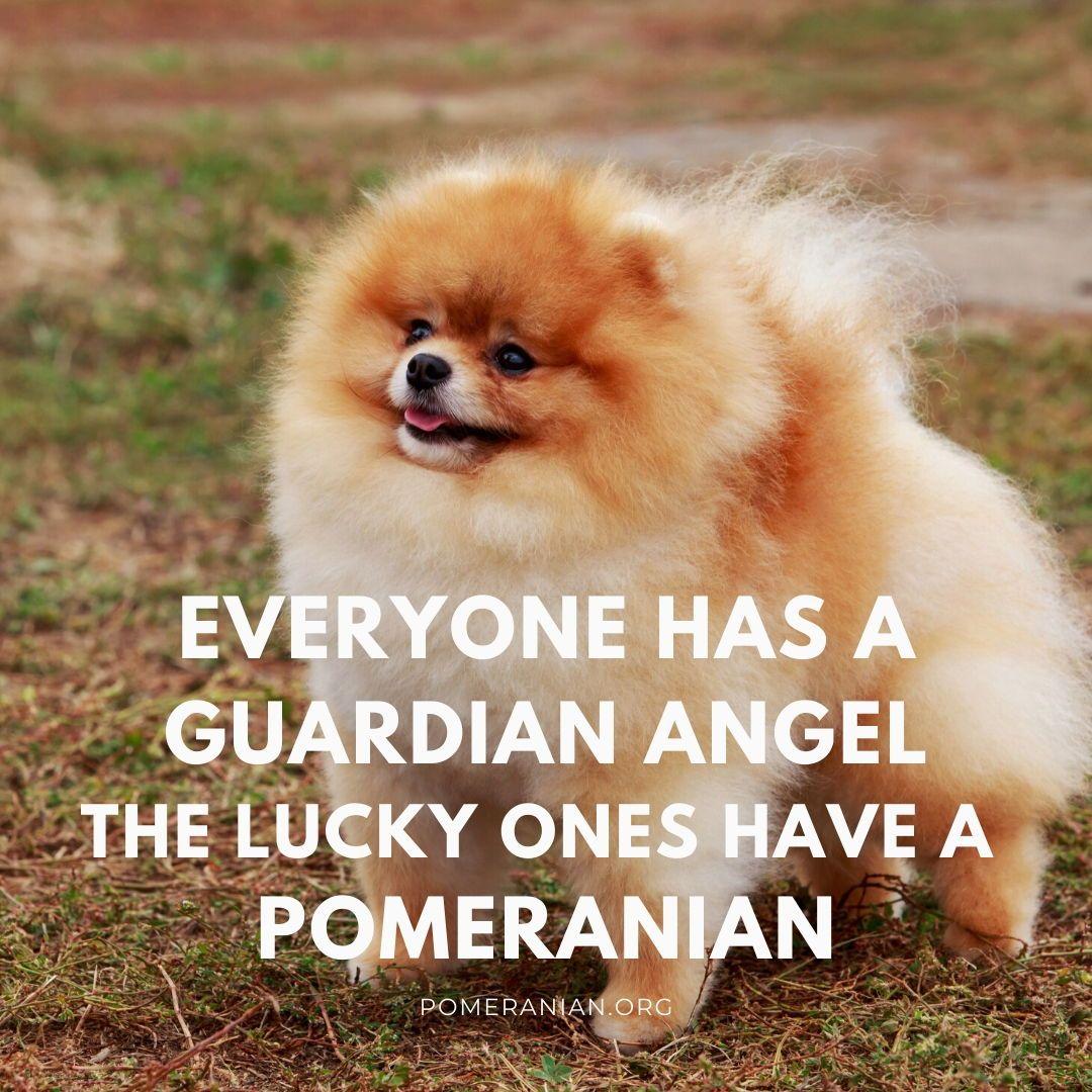 Pomeranian Dog Quotes