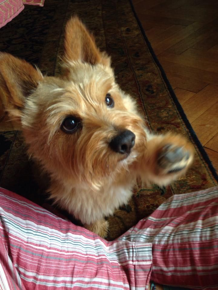 Pin On Norwich Terriers