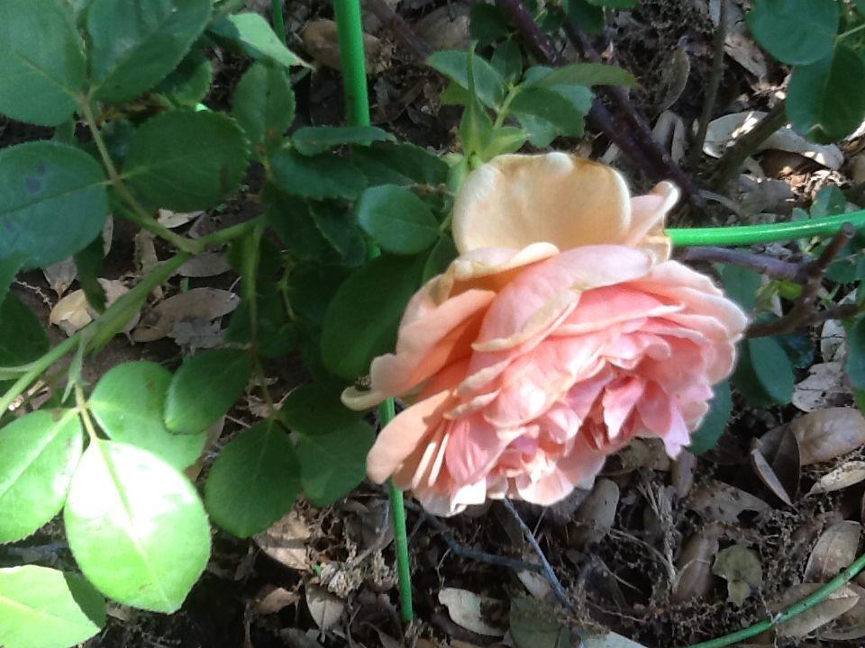 Love Those Antique Roses Republic Of Texas Rose From Antique Rose Emporium Texas Gardening Antique Roses Landscaping Plants