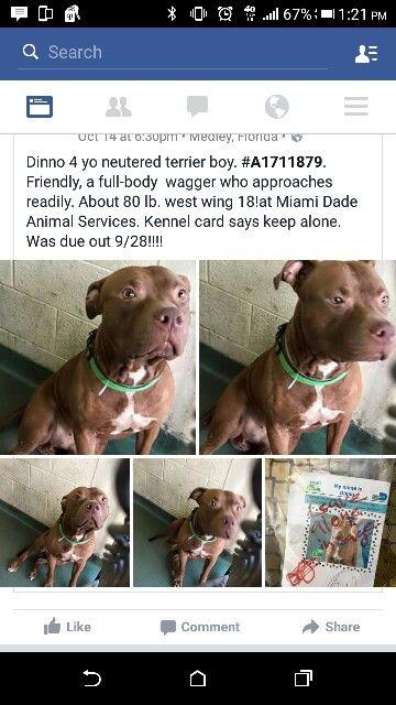 Dinno Florida Adopt Rescue Pet Dog Pitbull Adoption