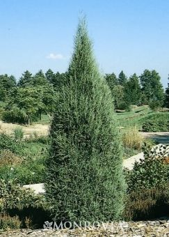 Cologreen Juniper Juniperus Scopulorum Cologreen