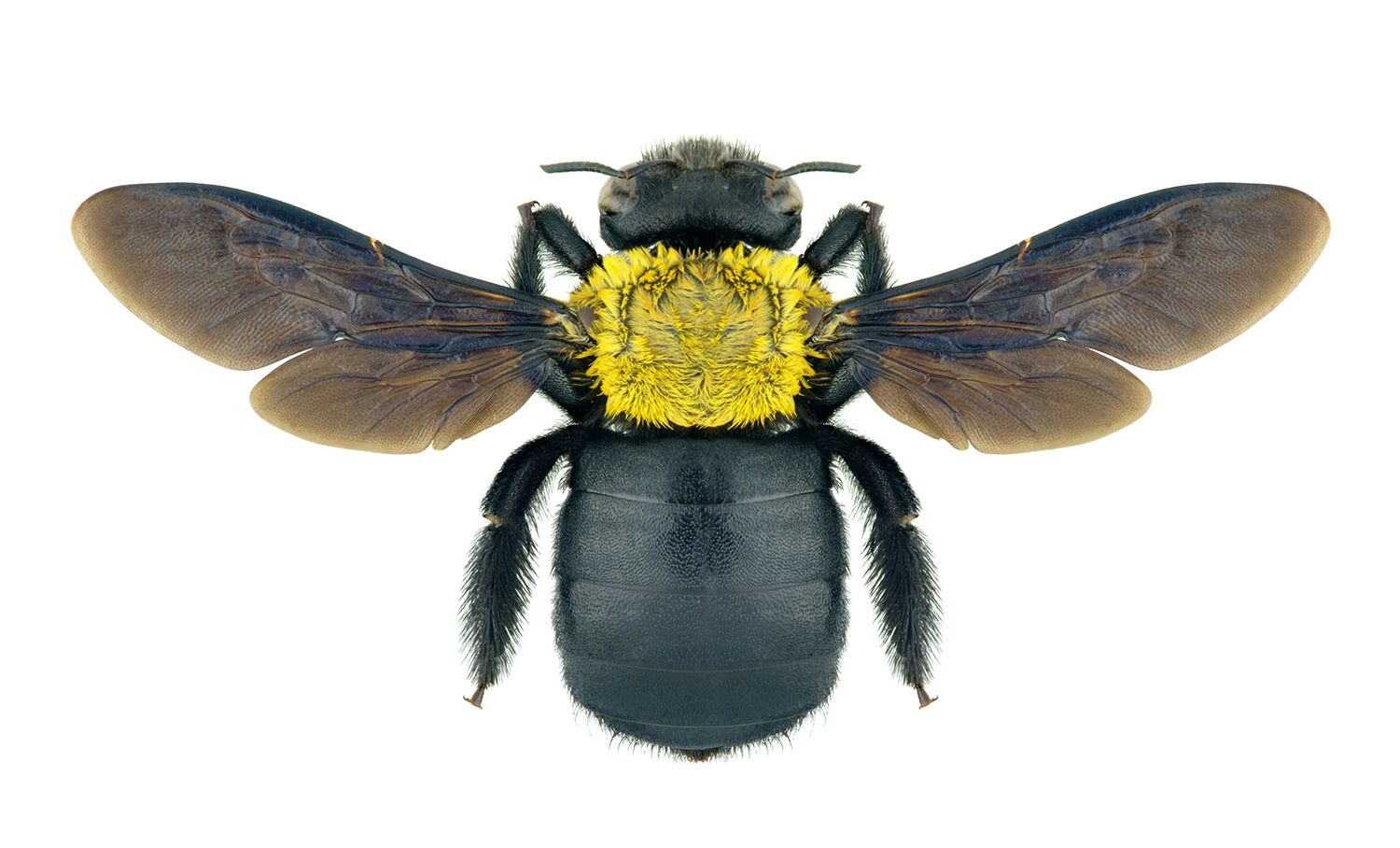 Have Carpenter Bees Save Your Porch Deck And Wood Siding With Our Carpenter Bee Solutions Carpenter Bee Carpenter Bee Trap Wood Bees