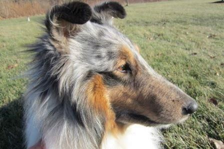 Dawson Collie With Images Rescue Dogs Mans Best Friend Dogs