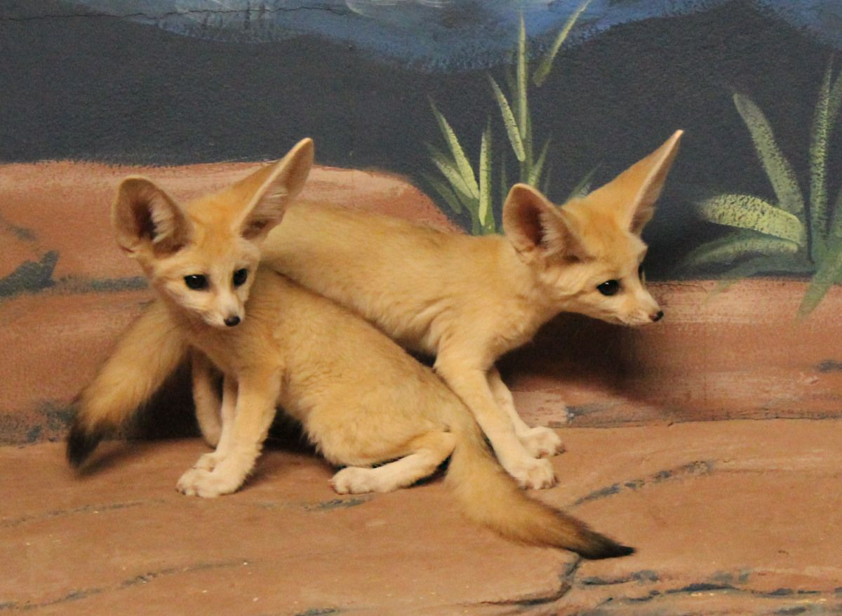 Baby inari fox for sale - Fennec Foxes Are Often Captured For Sale To Animals And Skins For The Human Population Of
