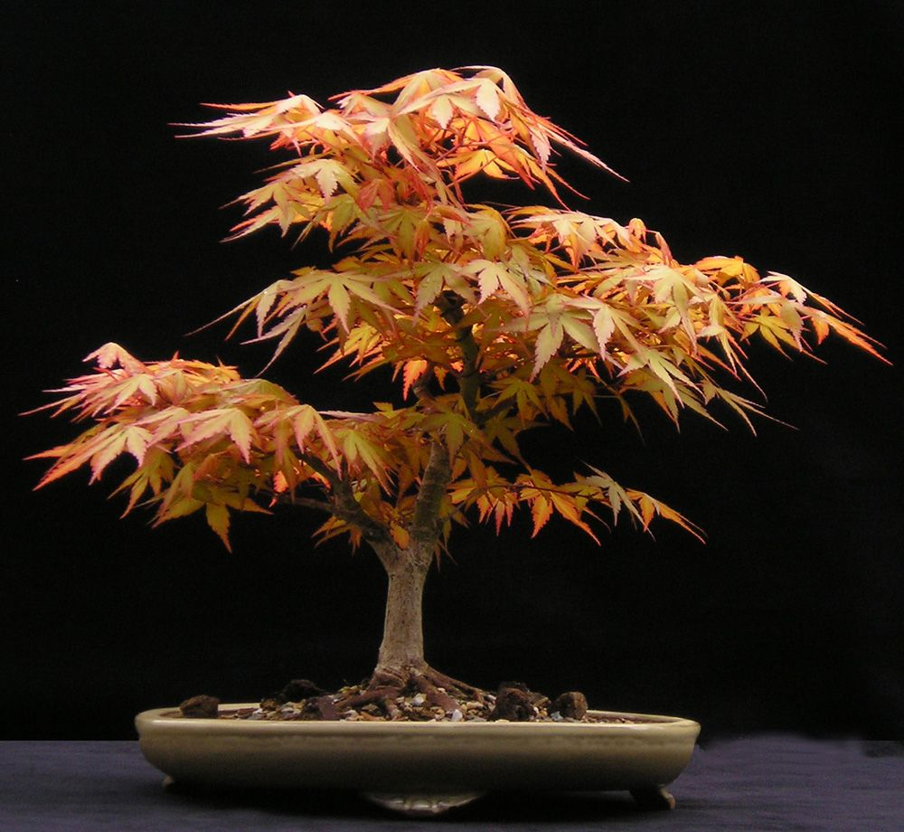 acer palmatum katsura bonsai evolution pictures. Black Bedroom Furniture Sets. Home Design Ideas