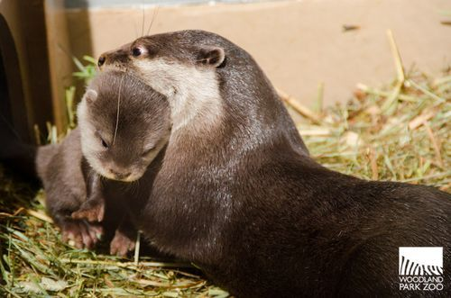 Woodland Park Zoo Otter Quadruplets Learn To Jump Run And Whistle Woodland Park Zoo Zoo Animals Baby Animals