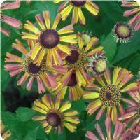 Helenium Tie Dye- Helen's Flower