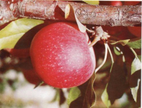 Галерея яблок – фото и характеристики | Яблоки в вашем ...