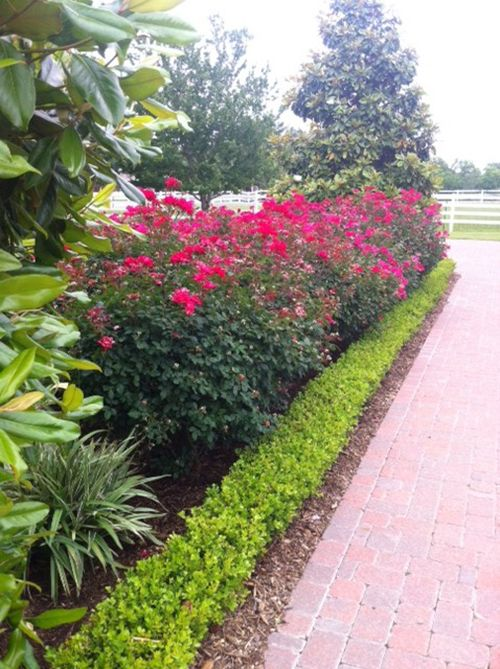 Landscaping With Boxwoods And Roses : Landscape design knockout roses boxwood pavers the