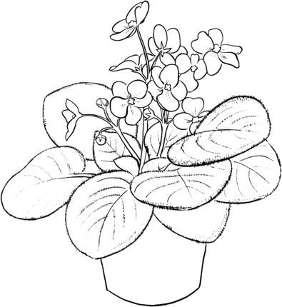 Saintpaulia Ionantha Or African Violet Coloring Page African