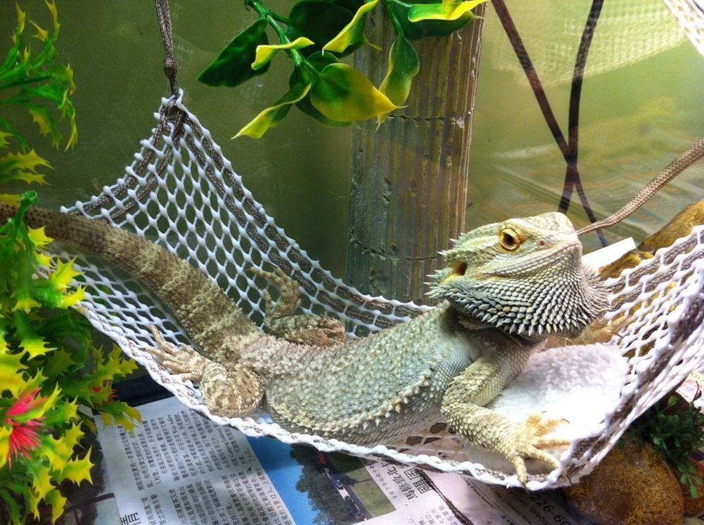 new attachable suction resting hammock 4 juvenile bearded dragons small size  handmadebyme 149 best all about beardies  u003c3 images on pinterest   reptiles      rh   pinterest