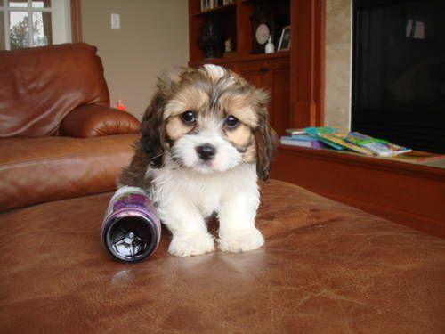 Cavachon 507 722 0116 Puppies Dogs And Puppies Cavachon Puppies