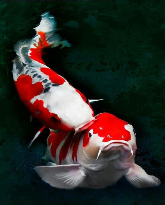 Koi fish koi pinterest poisson koi poisson rouge for Poisson rouge koi