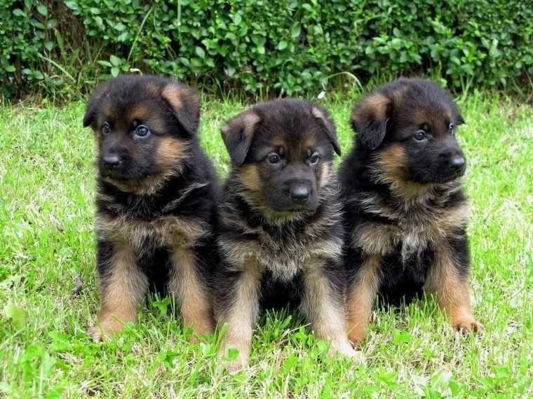 Black And Red German Shepherd Puppies Google Search Red German