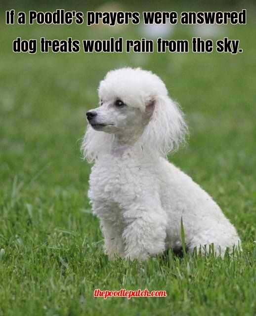 If A Poodles Prayers Were Answered Dog Treats Would Rain From The