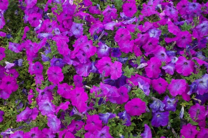 Petunia Group Plant Finder Showy Flowers Front Flower Beds Rainbow Garden