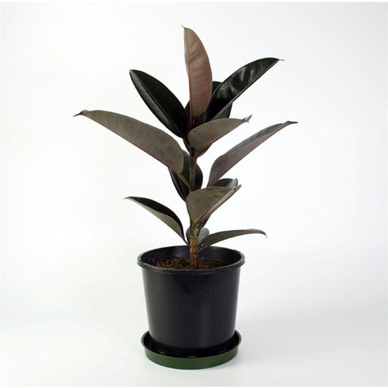 how to care for a burgundy rubber plant