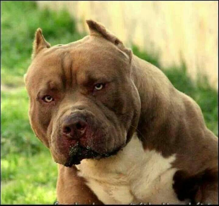 Gorgeous Bully Breeds Dogs Dogs Bully Dog