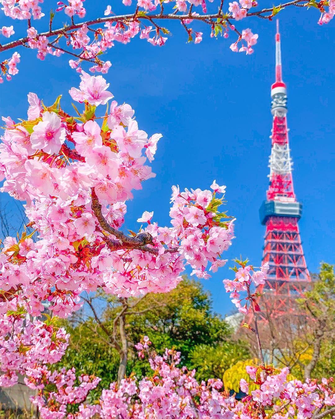 Kawazu Sakura Early Flowering Variety Of Cherry Tree And Tokyo Tower At Shiba Koen Park In Tokyo It Is One Of T Poster Bunga Lukisan Bunga Bunga Sakura