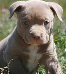 American Pitbull Terrier Puppy What An Adorable Nugget Must Have