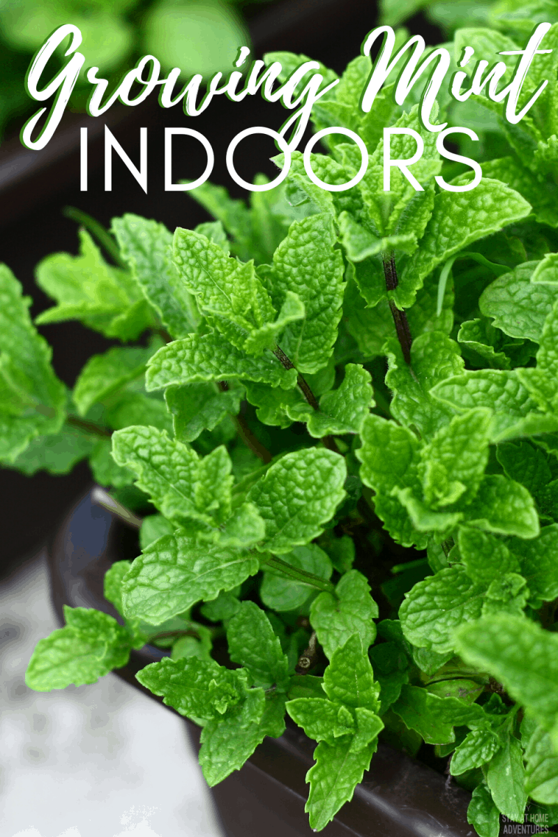 Growing Mint Indoors Everything You Need To Know Garden For Beginners In 2020 Growing Mint Gardening For Beginners Growing Mint Indoors