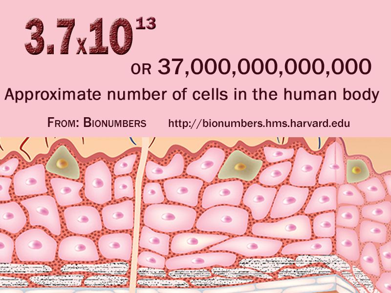 number of cells in the human body | science numbers | pinterest, Human Body