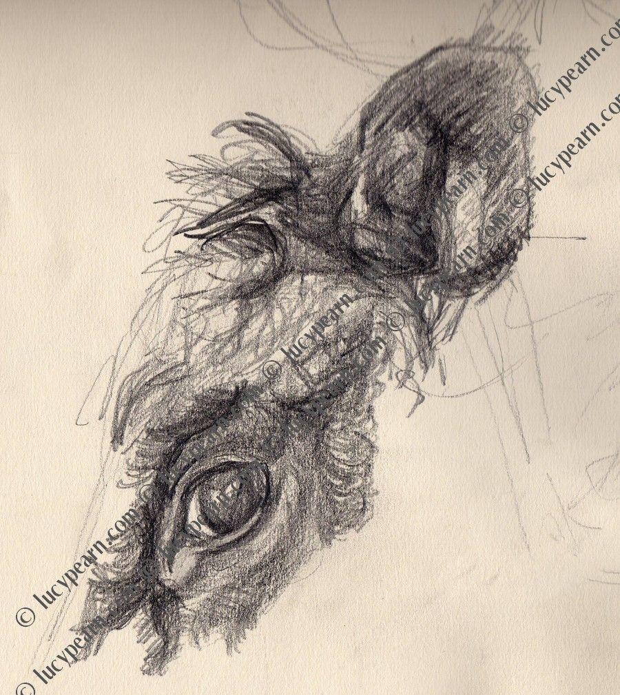 Lucy Pearn - Devon Cows Eye (pencil drawing) | Tattoo ...