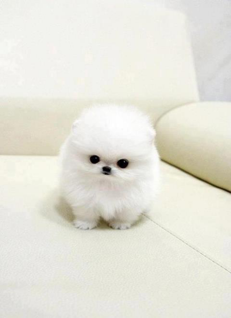 Adorable cute white fluffy puppy... click on picture to see more | Winziger  hund, Tiere, Haustiere