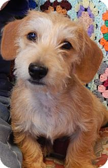 Dachshund Terrier Unknown Type Medium Mix Puppy For Adoption In