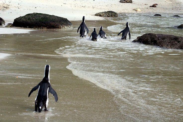 penguin, penguins, africa, antarctica in 2020 Africa