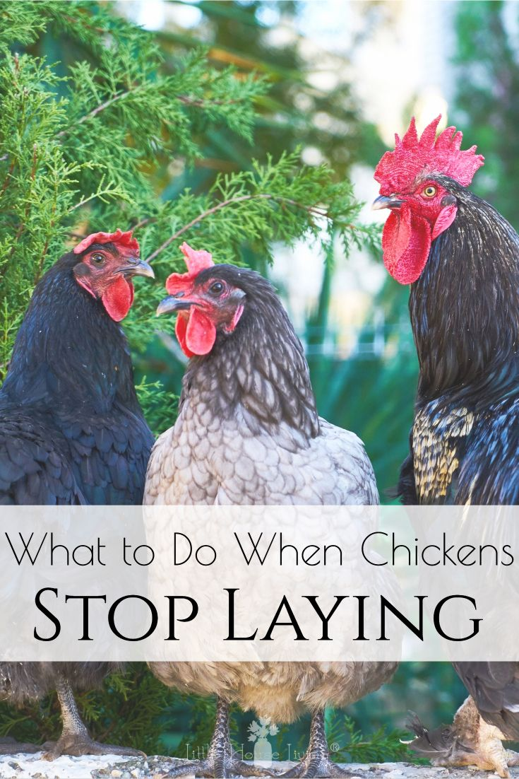 Increasing Egg Laying Production in Backyard Chickens ...