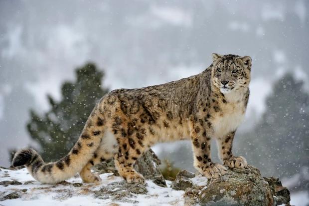 Snow Leopard Panthera Uncia Standing Regally On A Snowy Hillside Snow Leopard Habitat Snow Leopard Snow Animals