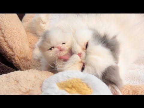 Marshmallow Kitten Development At 3 Weeks Old Dana Colagiovanni Must Watch This Kittens Cutest Kittens Cutest Kittens Ever