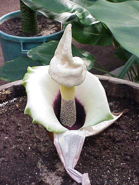 Amorphophallus Paeoniifolius Unusual Plants Unusual Flowers Strange Flowers