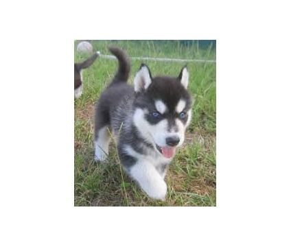 dsfsd  Purebred Siberian husky puppies for adoption is a Male