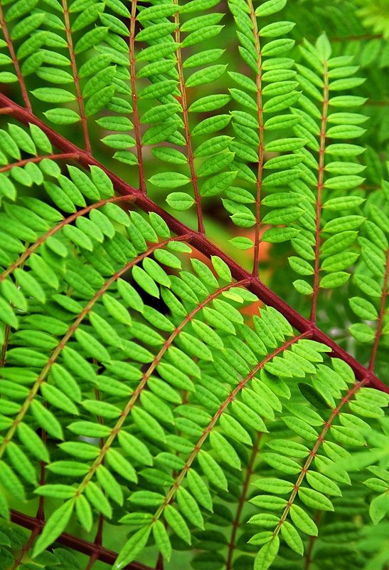 A Close Up On The Leaf Of Jacaranda Mimosifolia From South America Garden Design Roof Garden Design Plant Leaves