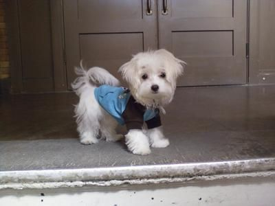 Love the brown and blue on a white Maltese. | Maltese ...