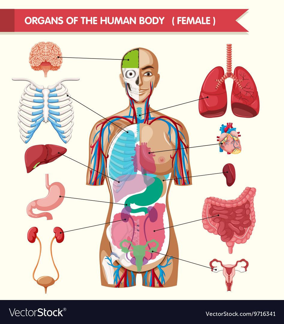 Organ Pictures Of The Human Body Human Anatomy Pictures