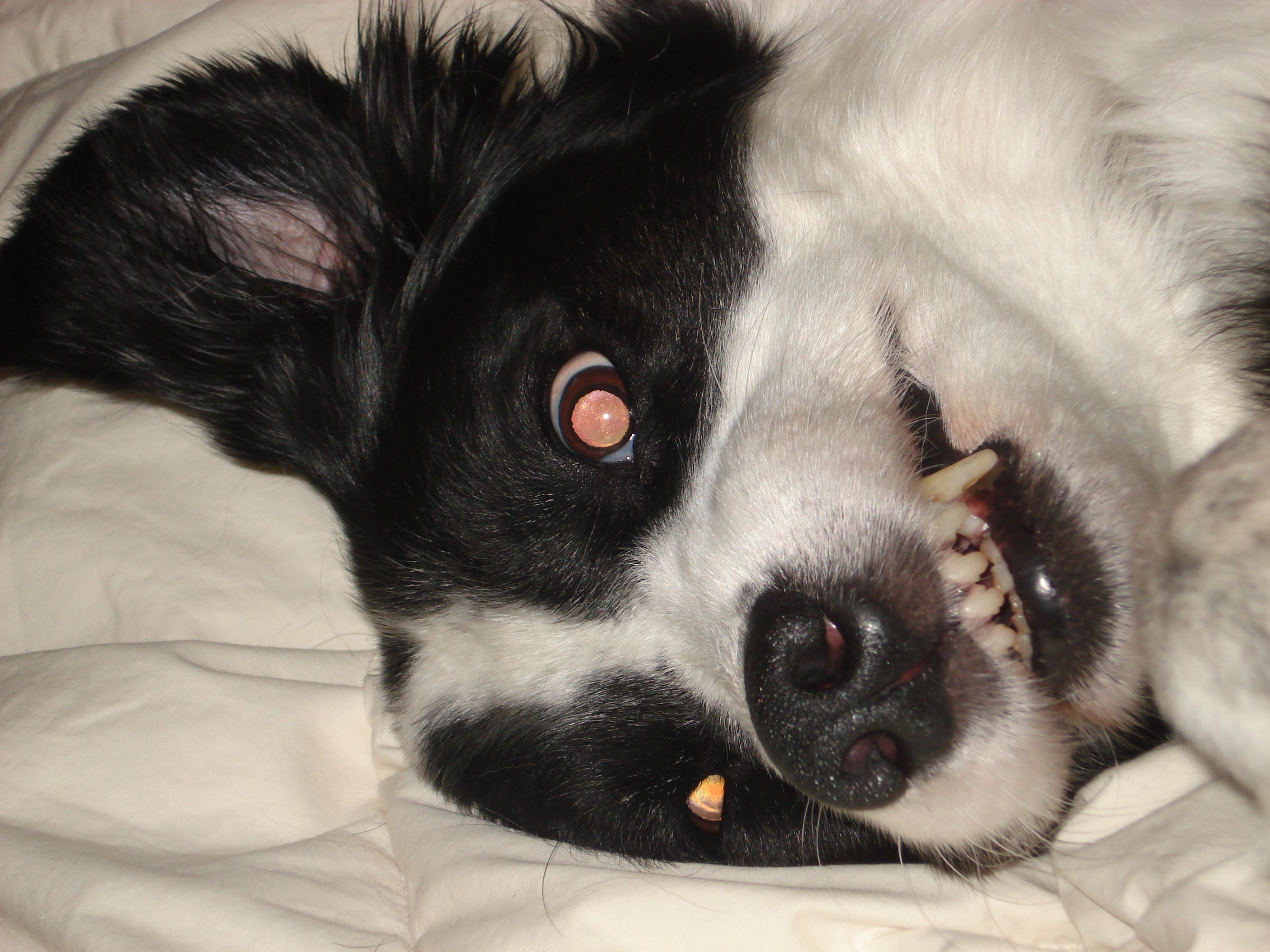 My Border Collie Fly When The Moon Is Full She Gets A Funny