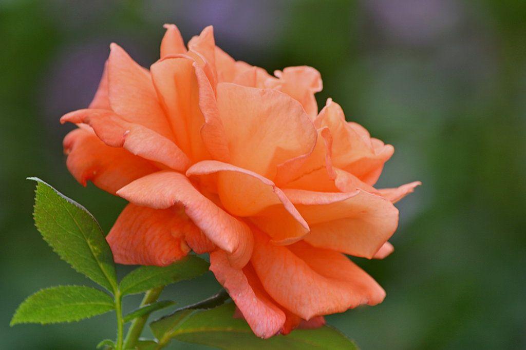 orange roses by SvitakovaEva.deviantart.com on @DeviantArt