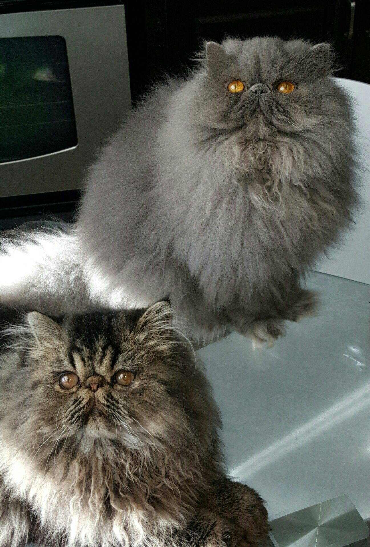 Brown Classic Tabby Male Solid Blue Female Persian Cats Beautiful Cats Cats Persian Cat