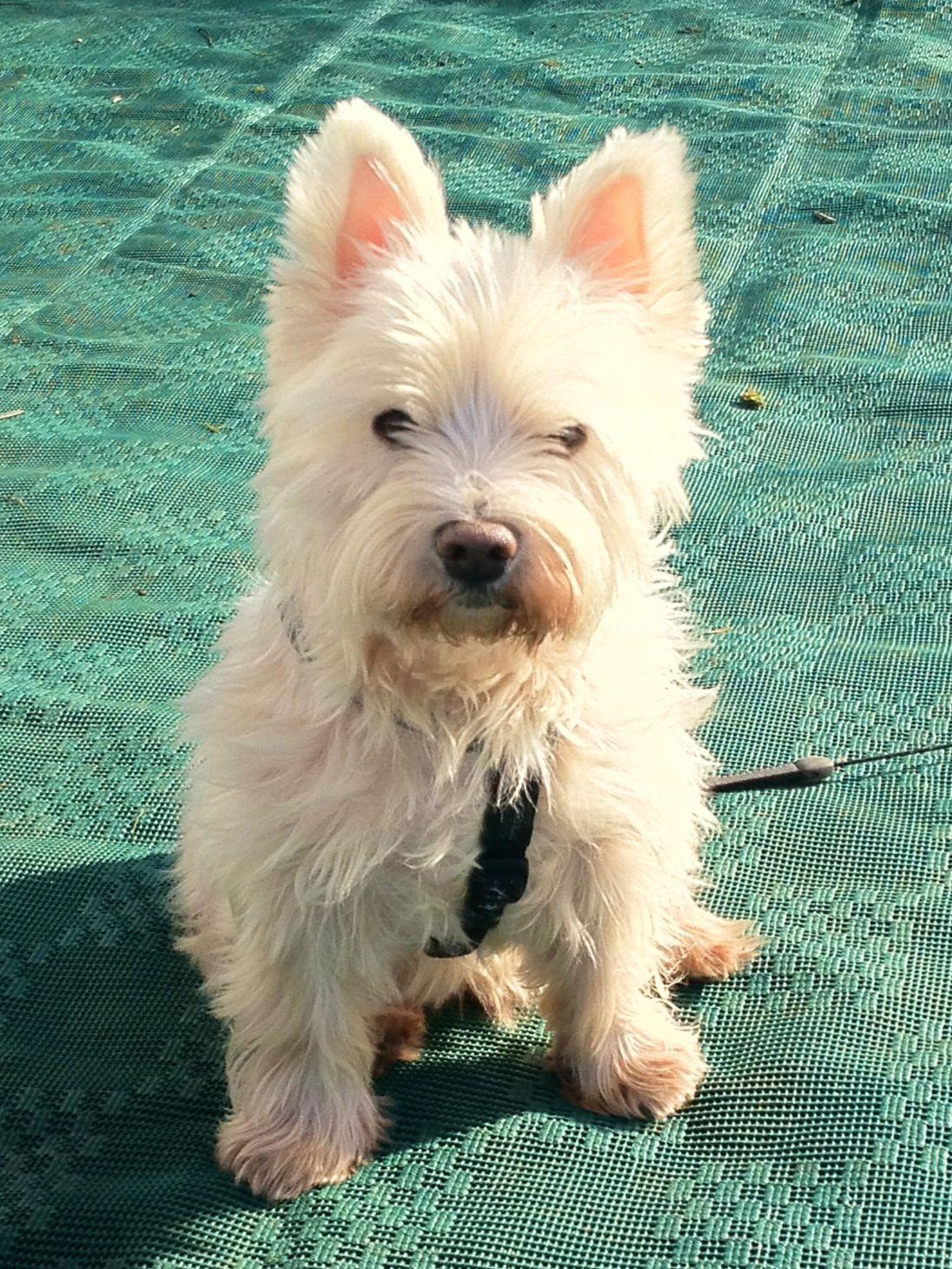 West Highland White Terrier West Highland Terrier West Highland Terrier Puppy Westie Terrier