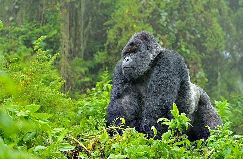 Image result for virunga park rwanda