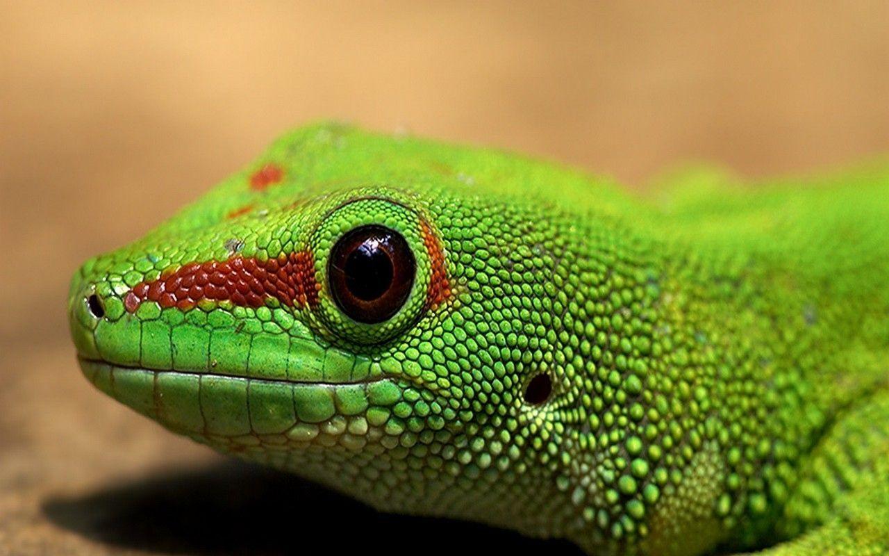 lizard eyes Google Search Green iguana, Iguana reptile