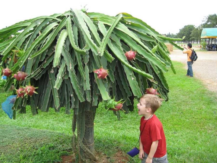 Photo Of Dragon Fruit Plant Dragon Fruit Farm Grow At Home Dragon Fruit Plant Dragon Fruit Cactus Dragon Fruit Garden