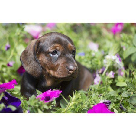 Standard Dachshund Puppy In Summer Garden Flowers Monroe